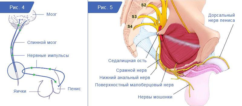 Связь пениса с головным мозгом